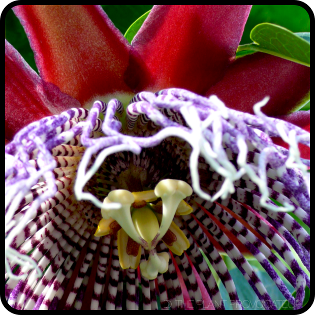 |Passiflora 'Purple Tiger' Blossom|
