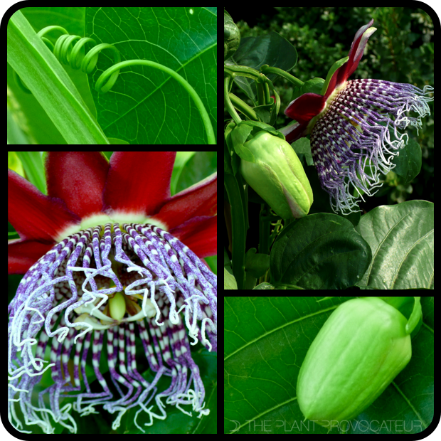 |Passiflora 'Purple Tiger' Tendril + Bud + Bloom|