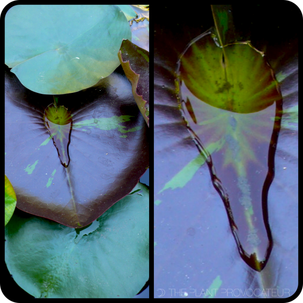 |Water Lily Leaf + Water|