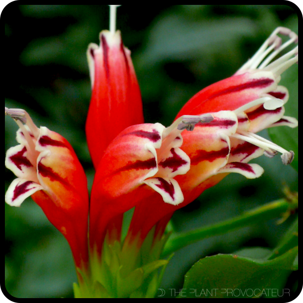 |Aeschynanthus sp. bloom detail|
