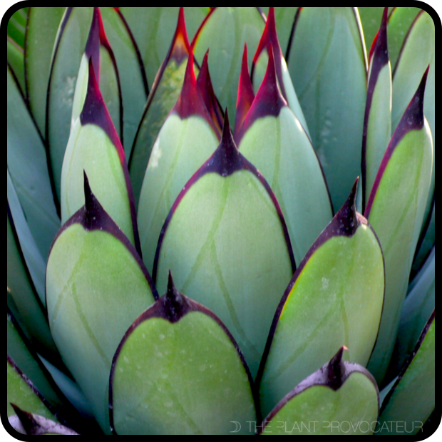 |Agave 'Royal Spine' Illuminated|