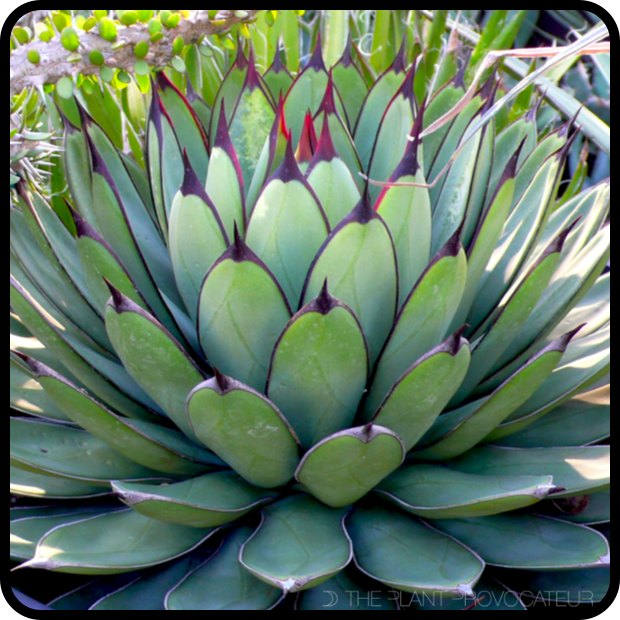 |Agave 'Royal Spine' Profile|