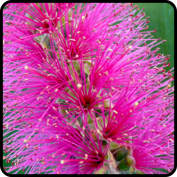 |Callistemon citrinus 'Jeffersii' bloom detail|