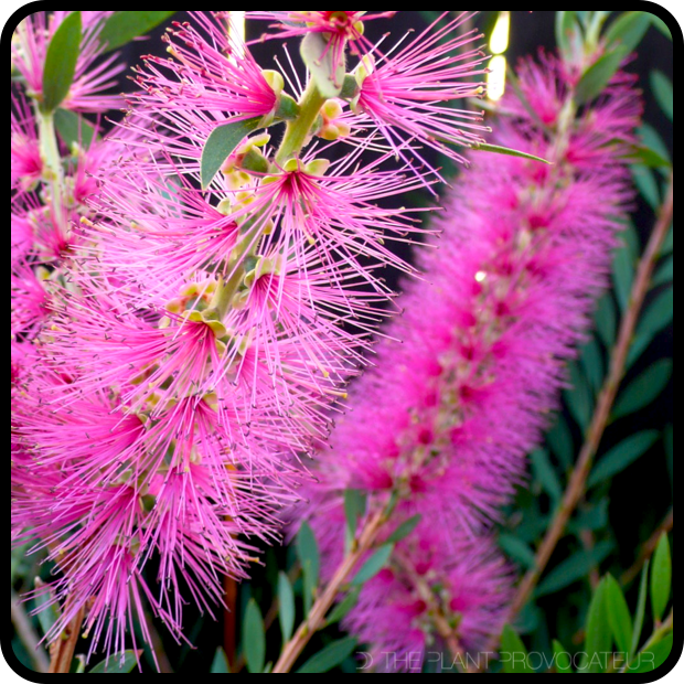 |Callistemon citrinus 'Jeffersii' bottlebrushes|