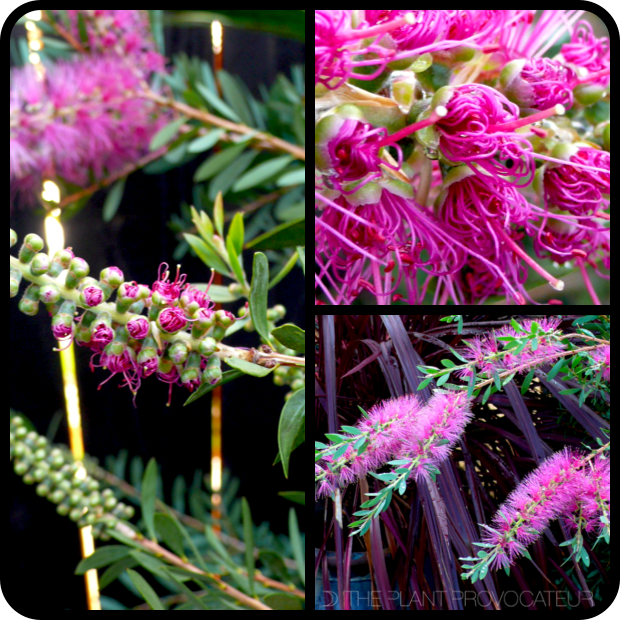 |Callistemon citrinus 'Jeffersii' detail|