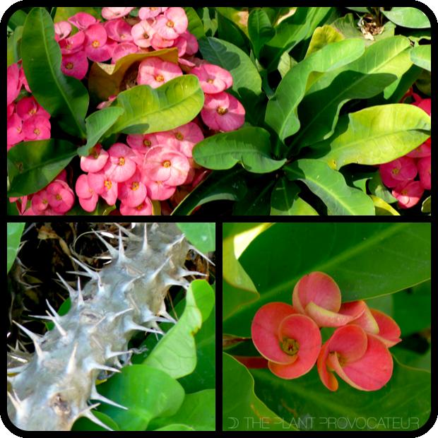 |Euphorbia milii profile|