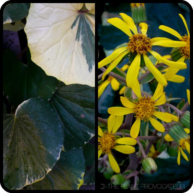 |Farfugium japonicum 'Argenteum' foliage + flower|