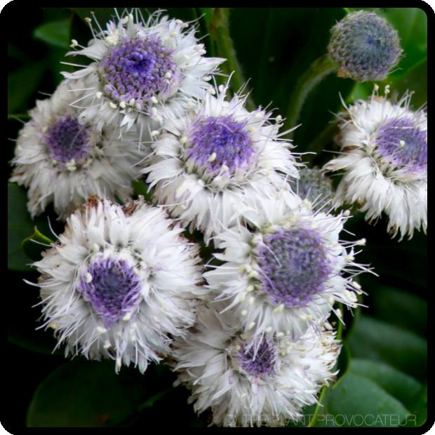 |Globularia x indubia blossoms|