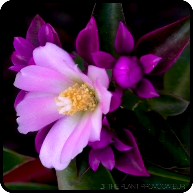 |Pereskia grandifolia bloom + bud detail|