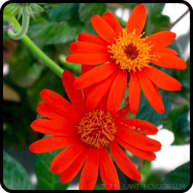 |Pseudogynoxys chenopodiodes flower|