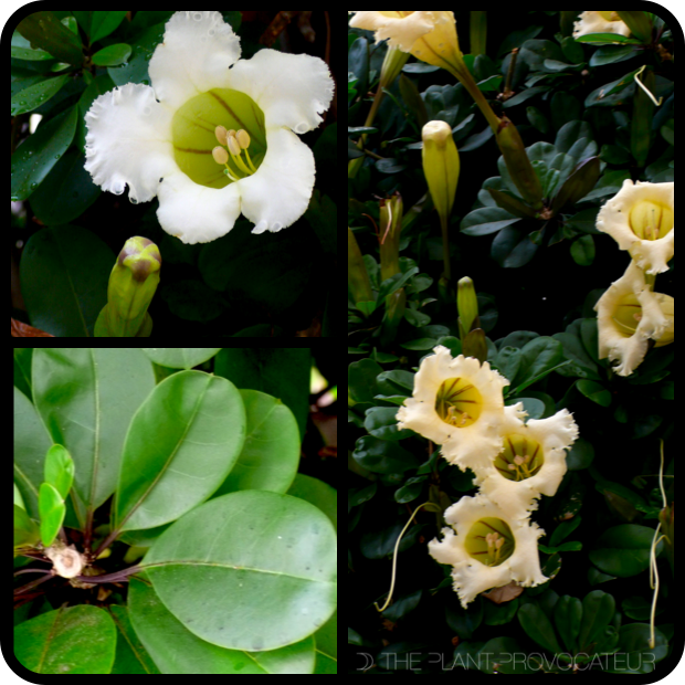 |Solandra longiflora detail|