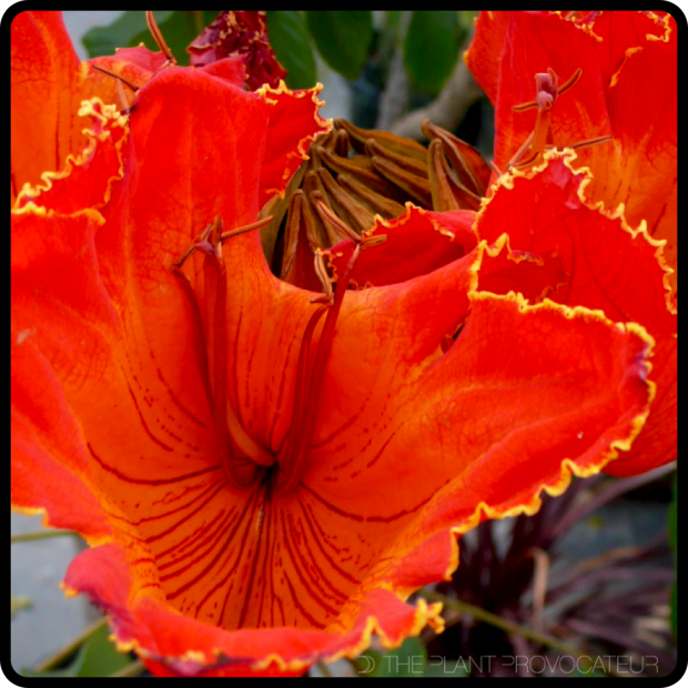 |Spathodea campanulata bloom detail|