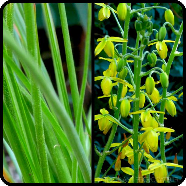 |Albuca shawii foliage + flower|