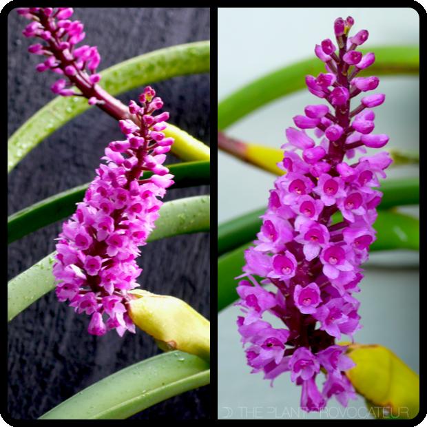 |Arpophyllum spicatum flower spike profile|