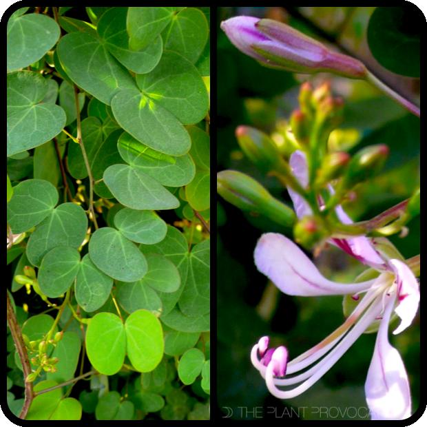 |Bauhinia yunnanensis profile|