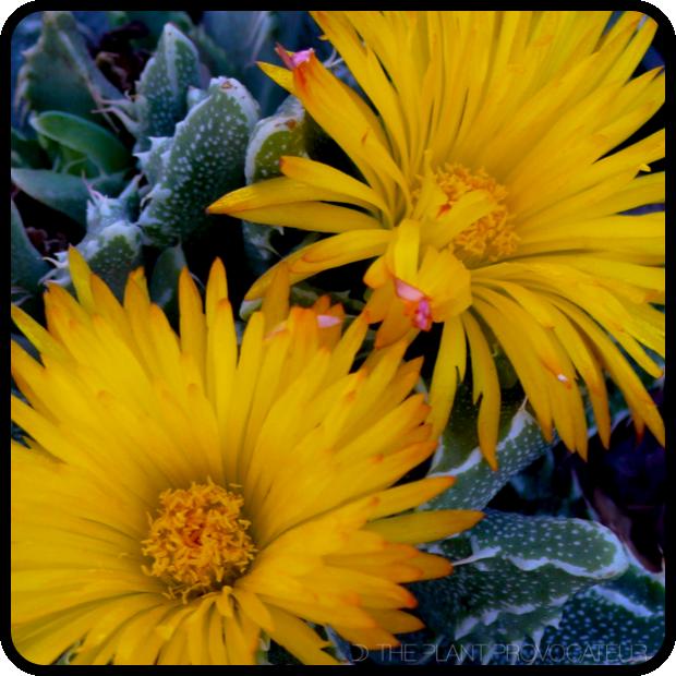 |Faucaria tigrina floral detail|