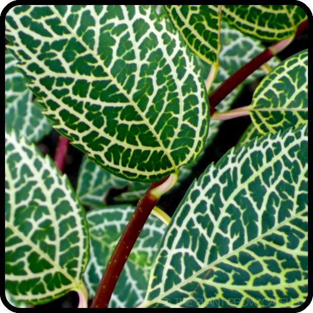 |Forsythia viridissima koreana 'Kumson' leaf detail|