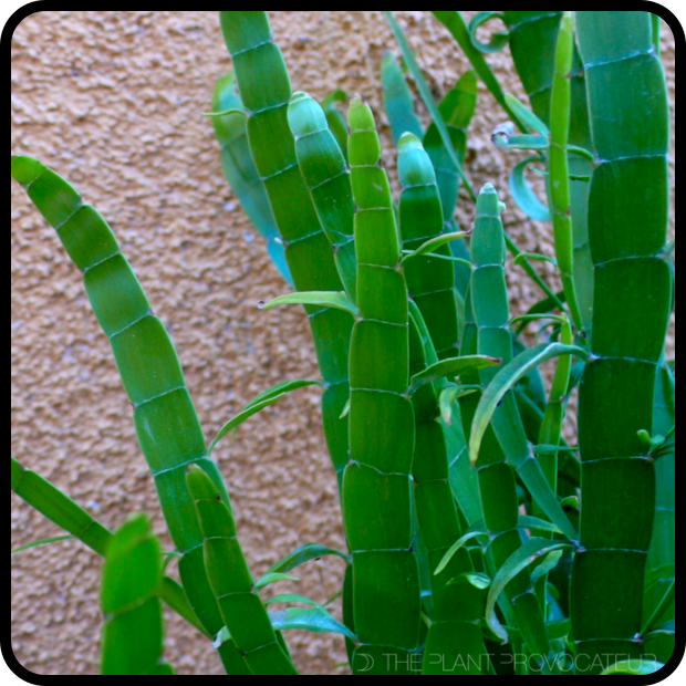 |Homalocladium platycladium foliage detail|