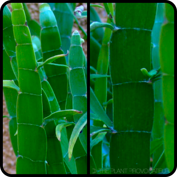 |Homalocladium platycladium foliage profile