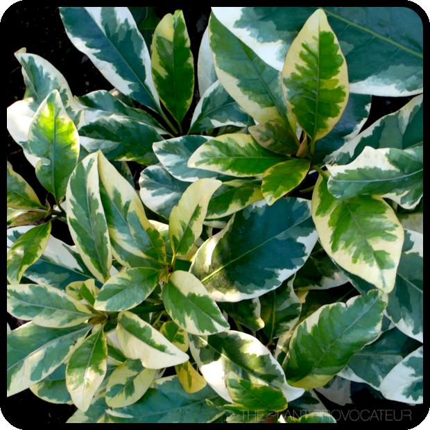 |Pisonia umbellifera 'Variegata' profile|