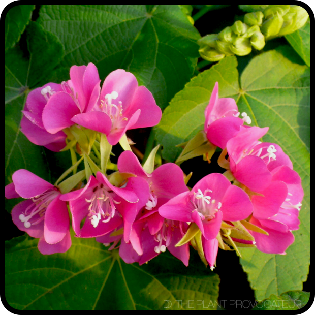 |Dombeya burgessiae 'Seminole' bloom detail|
