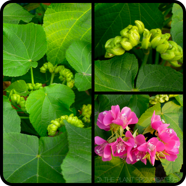 |Dombeya burgessiae 'Seminole' profile|