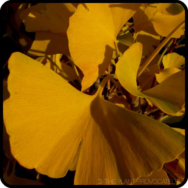 |Ginkgo biloba foliage detail|