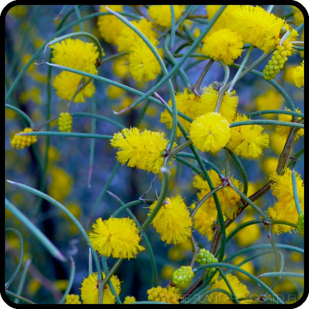 |Acacia merinthophora floral detail|