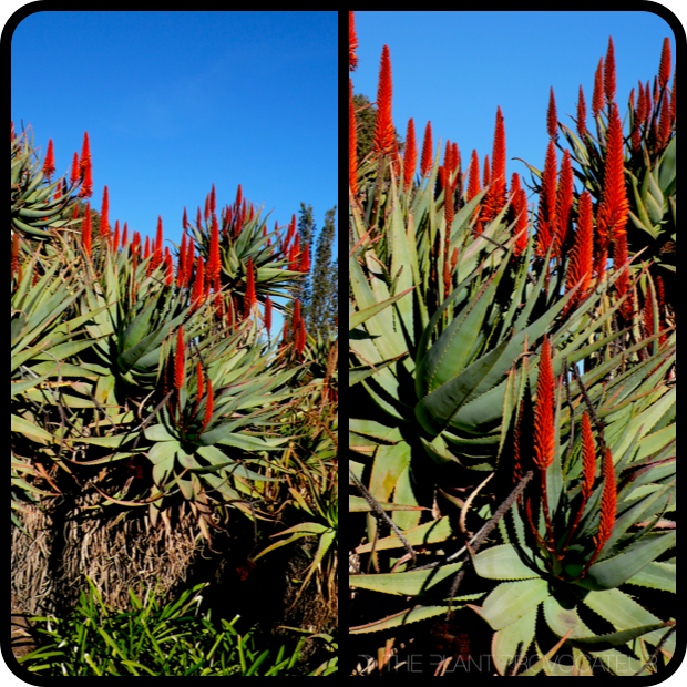 |Aloe ferox profile|