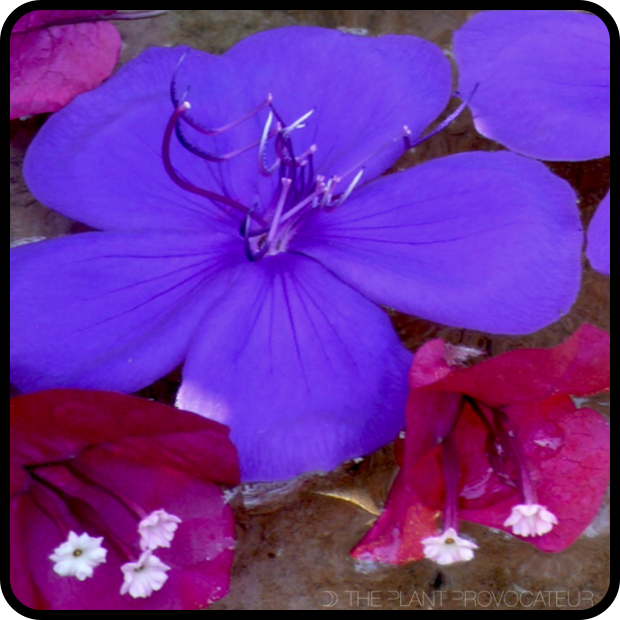 |Tibouchina + Bougainvillea floral float|