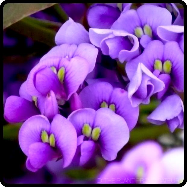 |CU Hardenbergia 'Walkabout Purple' Flowers|