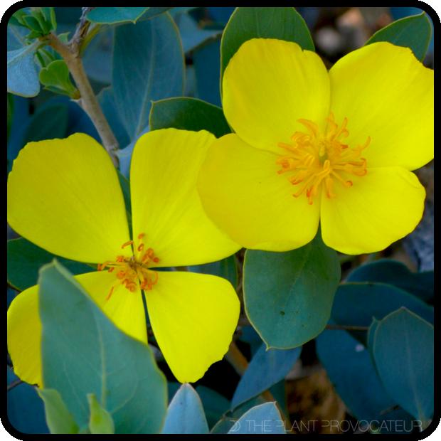 |Dendromecon harfordii in bloom|