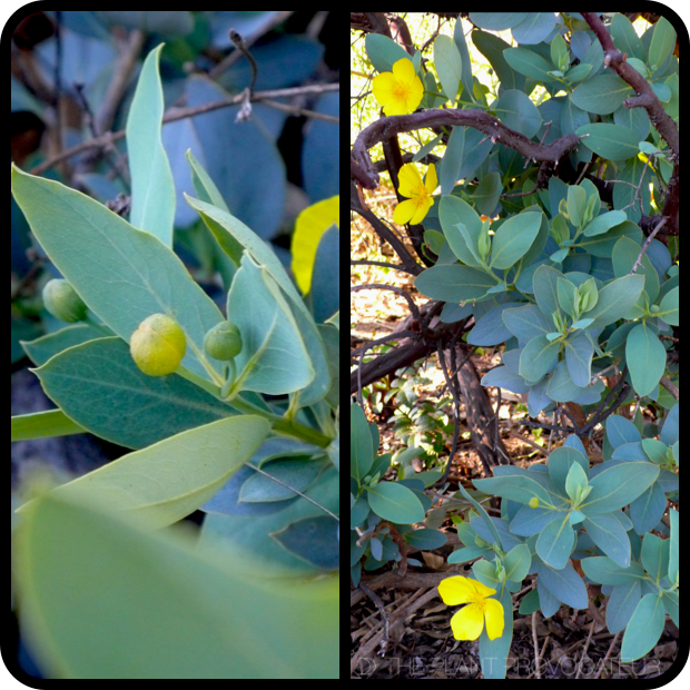 |Dendromecon harfordii bud + bush|