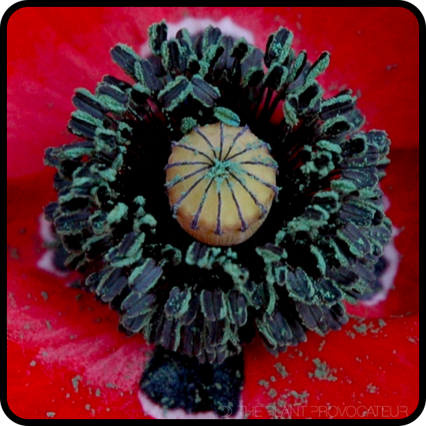 |ECU Papaver rhoeas 'Red Flanders'|