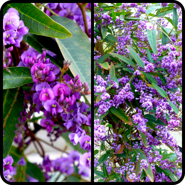 |Hardenbergia 'Walkabout Purple' details|