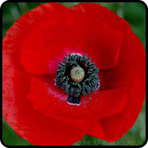 |Papaver rhoeas 'Red Flanders' Flower|