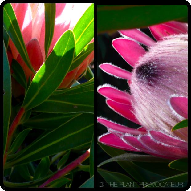|Protea neriifolia 'Pink Ice' Foliage + Flower Profile|