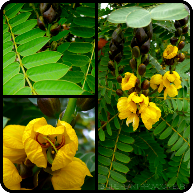 |Senna didymobotrya foliage, bud, and form|