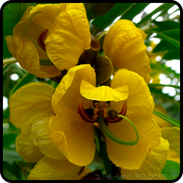 |Senna didymobotrya in bloom|