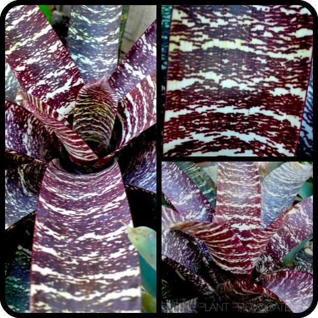 |Vriesea fosteriana 'Red Chestnut' details|
