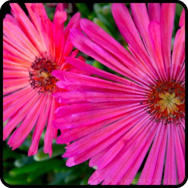 |Cephalophyllum stayneri floral profile|