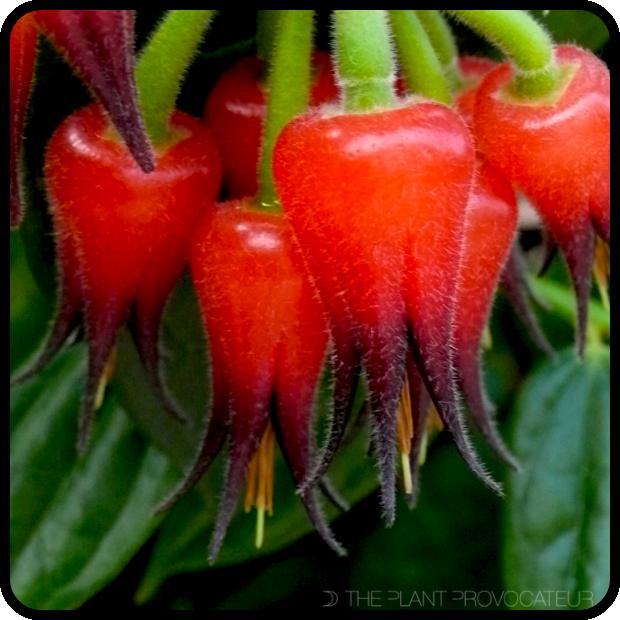 |Ceratostema silvicola floral profile|