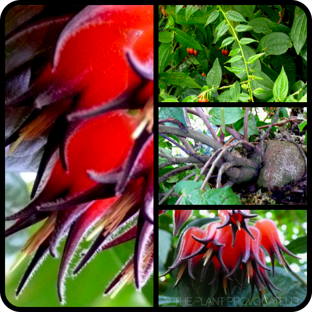 |Ceratostema silvicola foliage + flower + form|