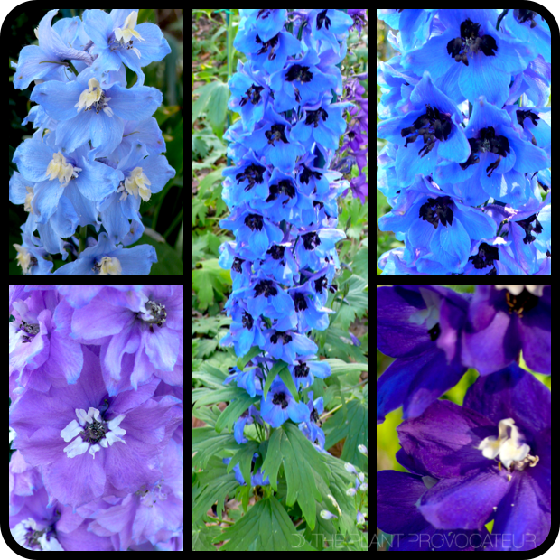 |Delphinium elatum 'Pacific Giant Mix' Profile|