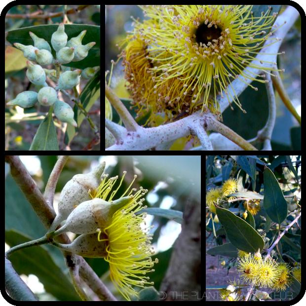 |Eucalyptus 'Torwood' details|