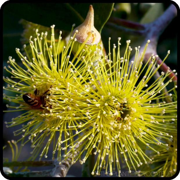 |Eucalyptus 'Torwood' floral profile|