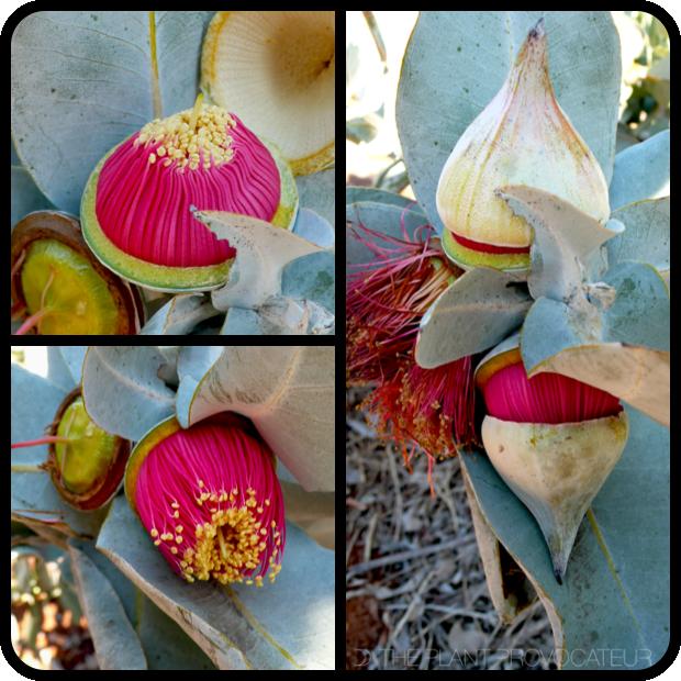 |Eucalyptus macrocarpa bud + blossom stages|