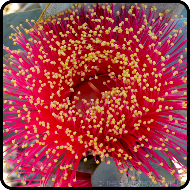 |Eucalyptus macrocarpa floral detail|