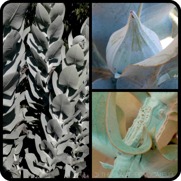 |Eucalyptus macrocarpa form + foliage + bud|
