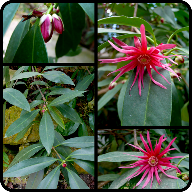 |Illicium x 'Woodland Ruby' profile|